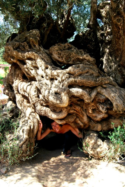 Ancient olive tree located on the Greek island of Crete. It is one of seven olive trees in the Mediterranean believed to be at least 2,000 to 3,000 years old.