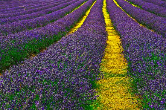 Lavender_Field_Sutton