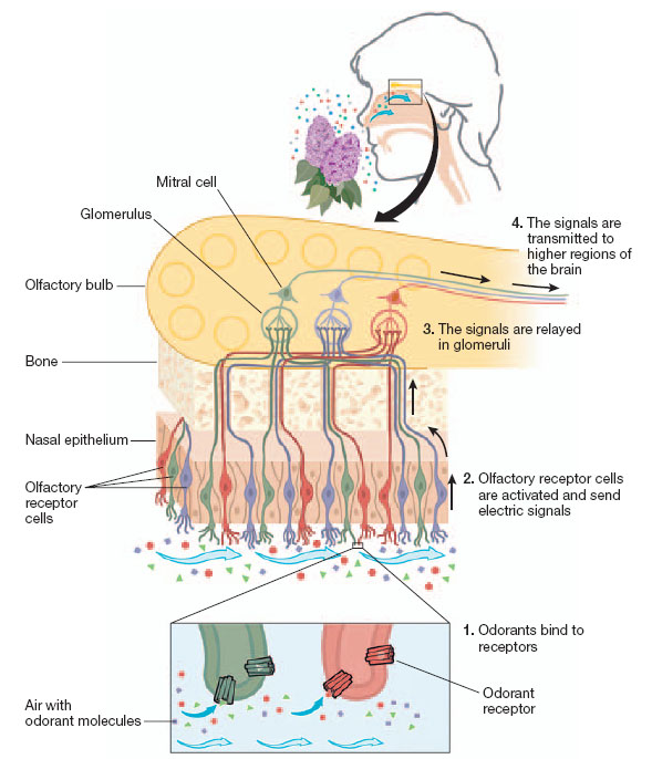 Olfaction EMBO reports VOL 8 NO 7 2007