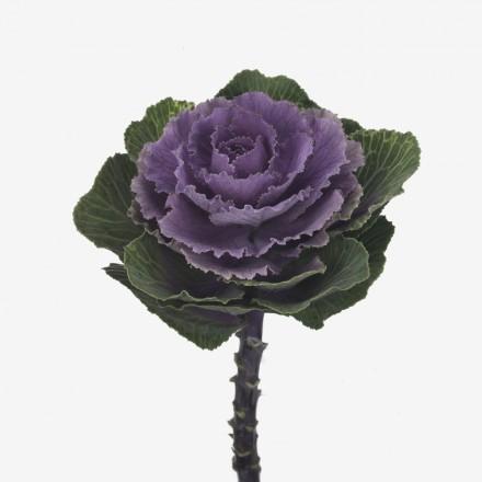 Brassica-Crane-Ruby-683-01