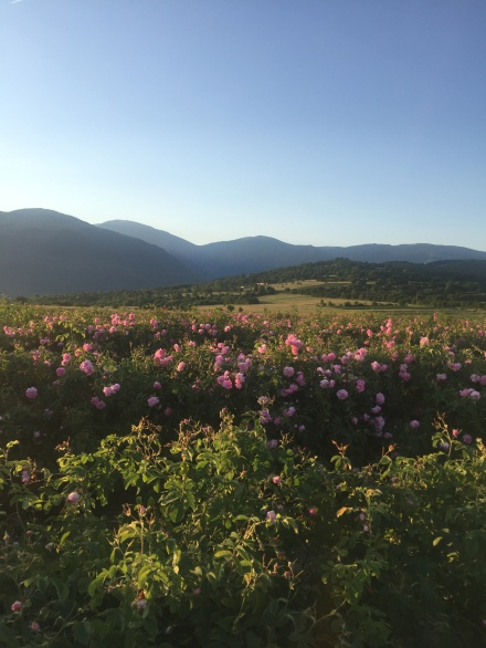 rosa damascena2_2018