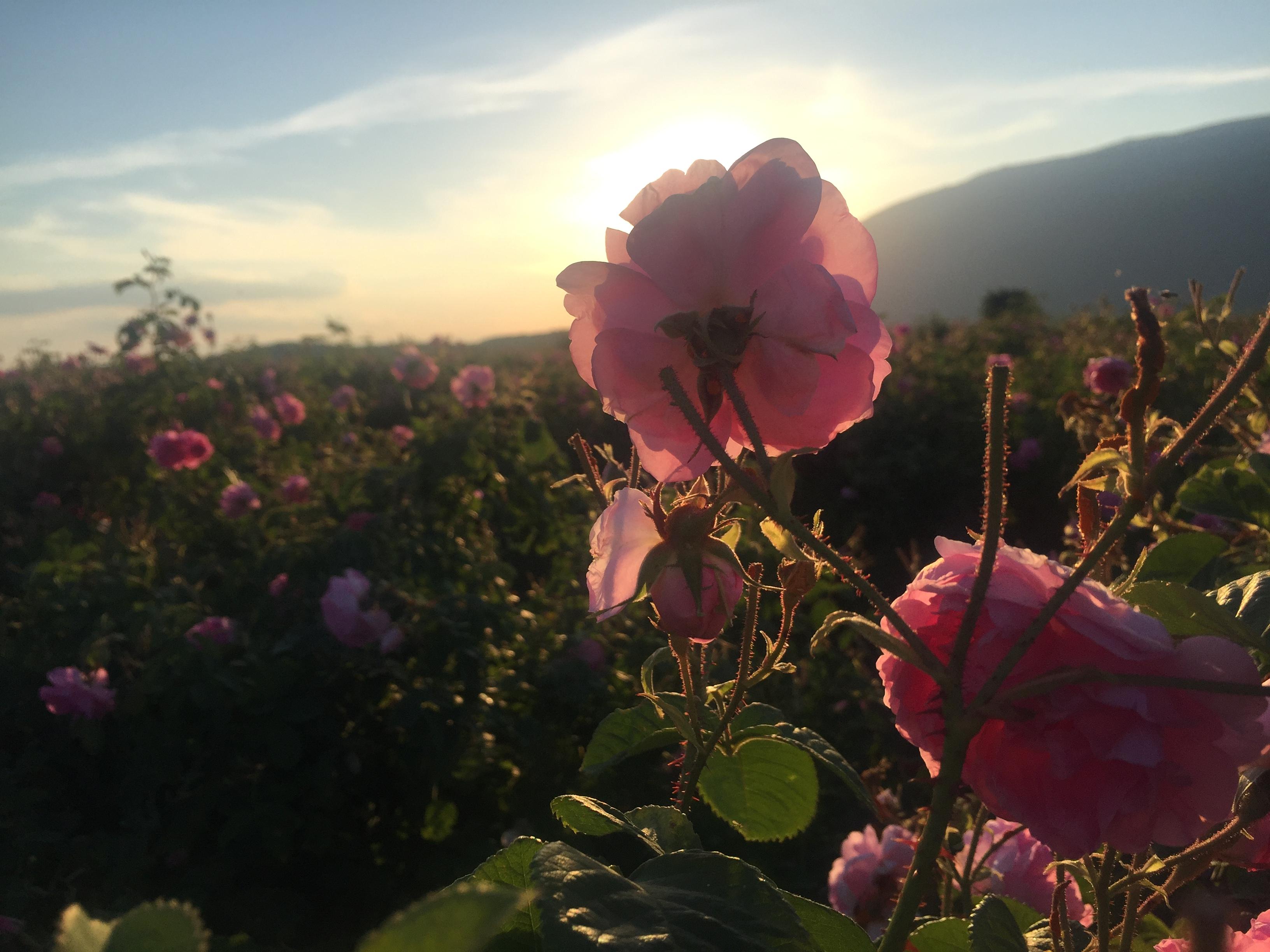 rosa damascena5_2018
